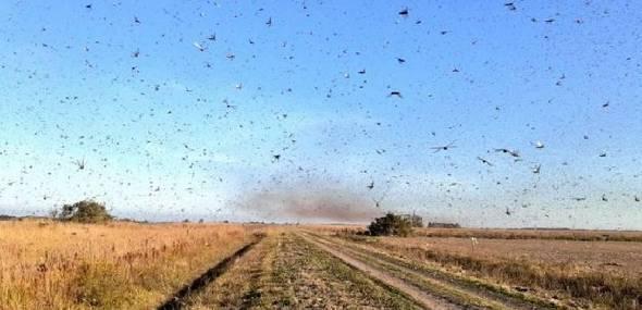 Nuvem de gafanhotos se reaproxima do Brasil e bombardeio de agrotóxico gera apreensão